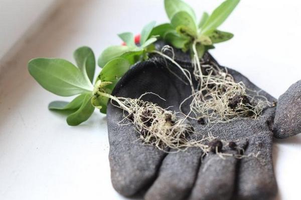 Посадка эустомы на рассаду: как и когда сеять эустому, выбор грунта и семян