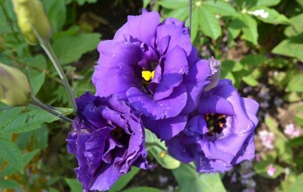 Лизиантус в саду: посадка и уход с фото